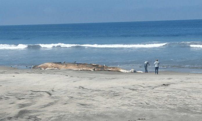 Entierran a ballena muerta en playa de Baja California